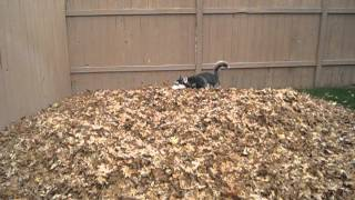 Funny Siberian Husky Playing In Leaves