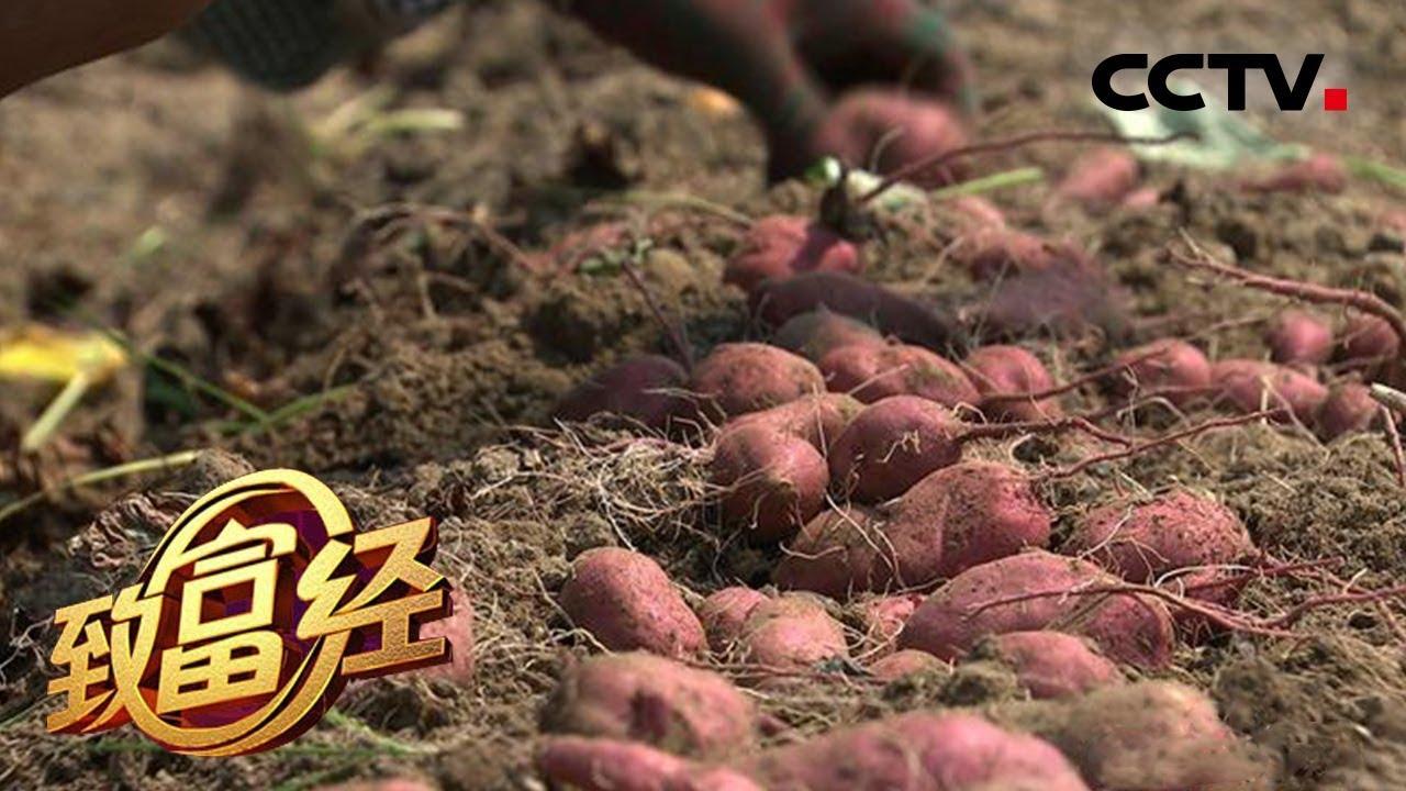 《致富经》 20180605 四个亿顶呱呱 全靠小地瓜 | CCTV农业