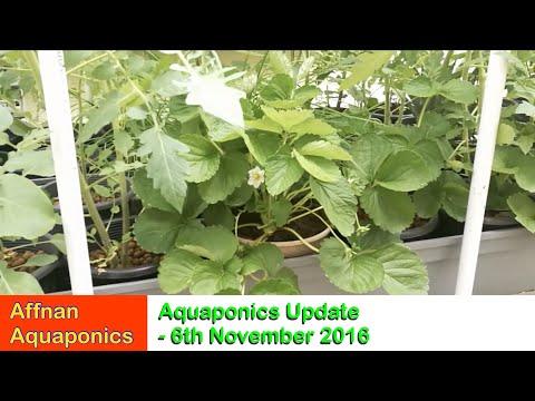 Affnan's Aquaponics - 6th Nov 2016 Updates
