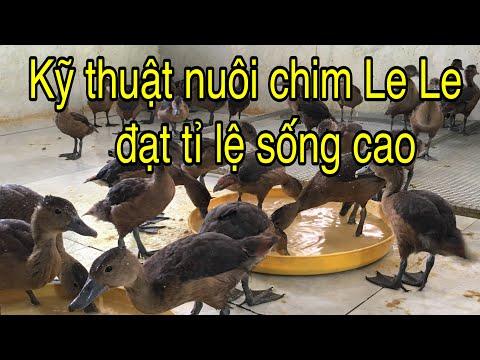 Kỹ Thuật Nuôi Chim Le Le đạt Tỉ Lệ Sống Cao
