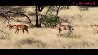 KWS and other stakeholders join hands in a project to protect Oryx in Isiolo central