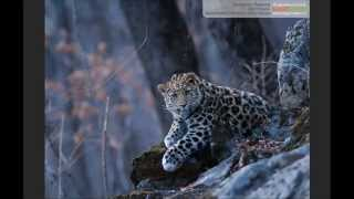 """3D постер (стерео варио) """"Детеныш дальневосточного леопарда"""" (фото Валерия Малеева)"""