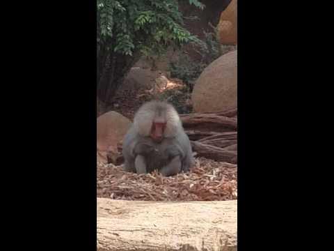 Honolulu Zoo Baboon