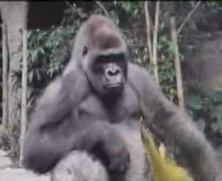 gorilla bokito attack youtube