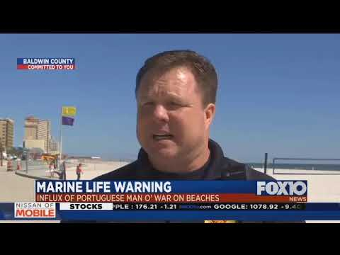 Purple Flags Warn Of Man O War At Gulf Shores Beaches