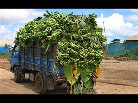 Не пальмы, а БОЛЬШАЯ ТРАВА! Бананы - как выращивают?