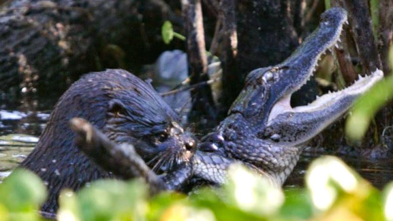 melanistic alligator