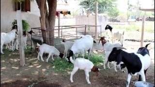 Bapu Dilip Keskar Nikita Goat Farm Phaltan
