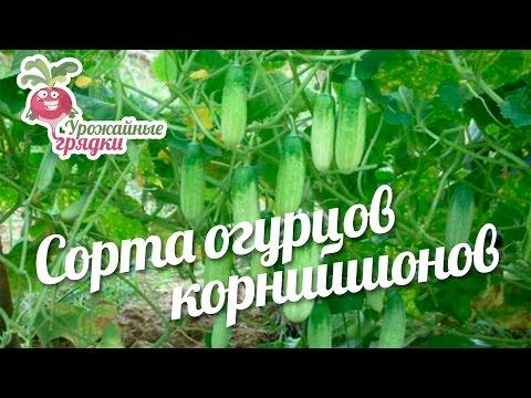 Ранние и среднеранние сорта сорта картофеля