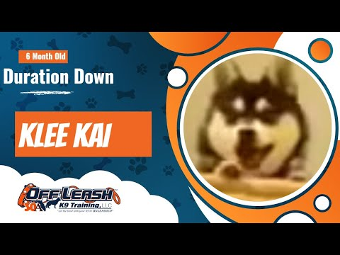 Duration Down, Park Ave Festival!  6 month old, Alaskan Klee Kai, Kylee.  Best Dog Trainer Rochester