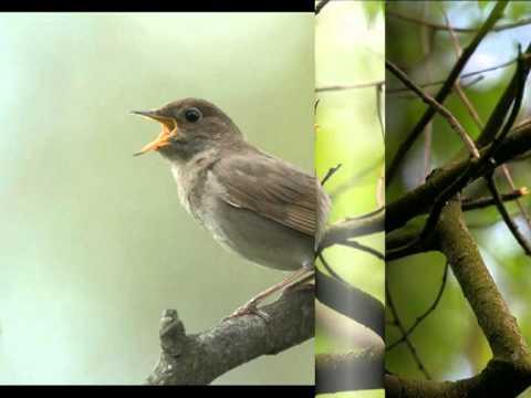 фото иволга птица