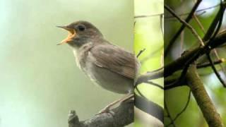 Голоса птиц  - Соловей (Luscinia)
