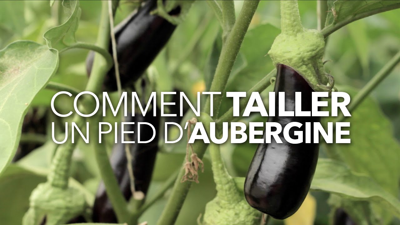 Comment tailler un pied daubergine #1  YouTube