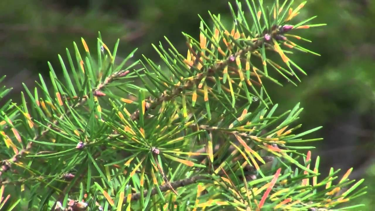 Douglas Fir Needle Midge In Christmas Trees Youtube