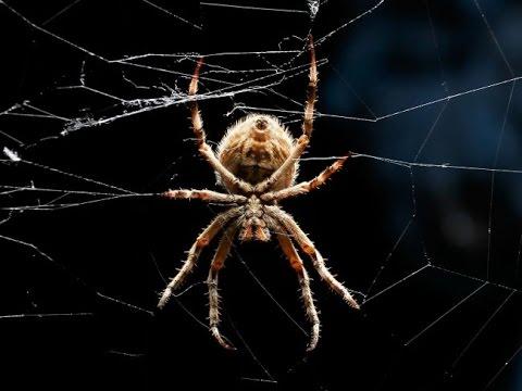 Гигантский австралийский паук атакует человека. Смотреть до ...