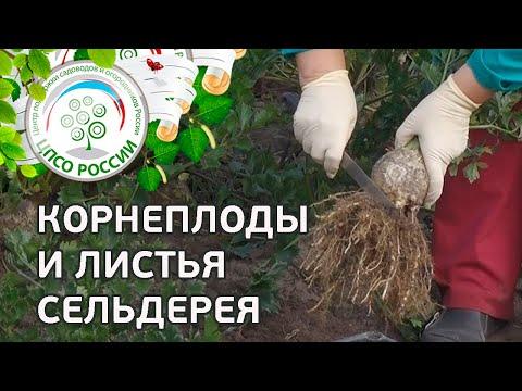 Как собирать сельдерей