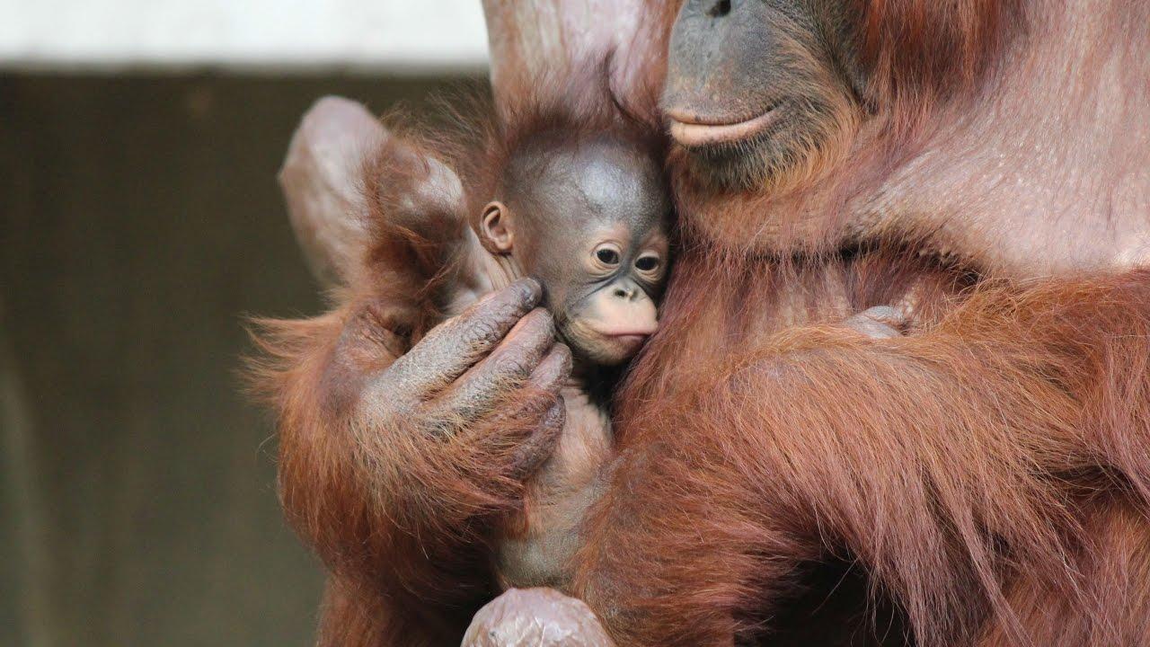 borneose orang oetan baby 05 12 2016 borneo orang utan