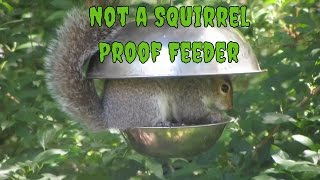 "A Happy Gray Squirrel Figured Out Our ""squirrel Proof Feeder"""