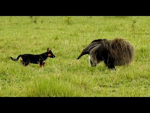 Giant anteater attacks dog, which crossed the line of tolerance between the two,