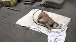 2010.8.15 実家の犬のシャンプーのあと、自分で身体をふいてくれます。