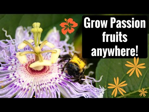 Growing, Harvesting and Eating Maypop (Hardy Passion Fruit)
