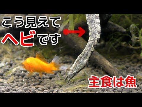 水中で暮らす蛇、ヒゲミズヘビが面白過ぎた!