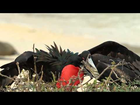 Magnificent Frigate Birds Courting