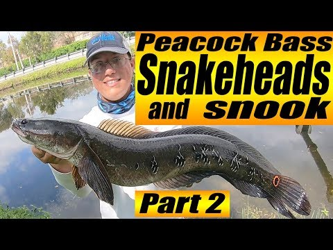 Florida SNAKEHEAD Fishing LOCATIONS 2019 (PEACOCK BASS SNAKEHEADS AND SNOOK!!!) Part 2