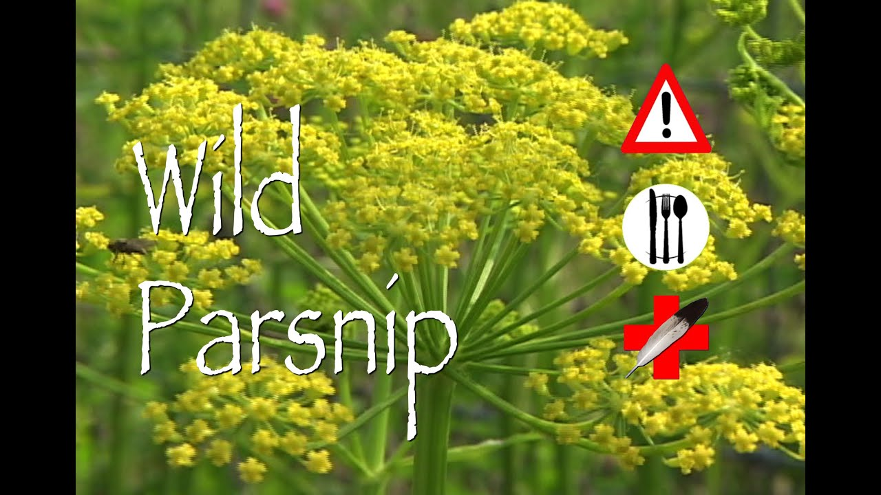 how to get rid of wild parsnip