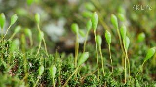 ウリゴケ属の一種  a species of moss in the genus Brachymenium[ 4K UHD / コケ類 Moss]