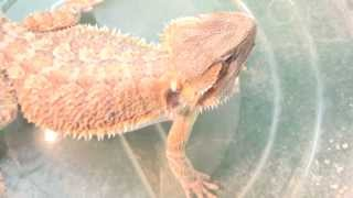 An Easier Way To Feed A Bearded Dragon Live Insects
