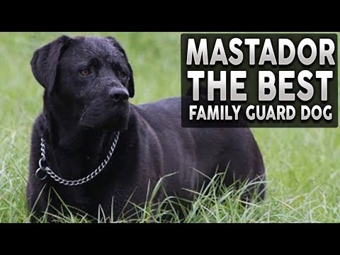 MASTADOR 101! Everything You Need To Know About THE BEST FAMILY GUARD DOG!