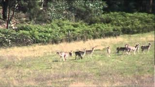 fallow deer head shot long range shooting 7mm rem mag