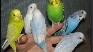 как БЫСТРО ПРИРУЧИТЬ ПОПУГАЯ К РУКАМ.  ВОЛНИСТЫЙ ручной попугай. ручные попугаи