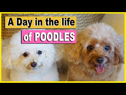 A Day in the Life of My TOY POODLES
