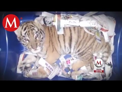 Hallan un cachorro de tigre de bengala en empresa de paquetería