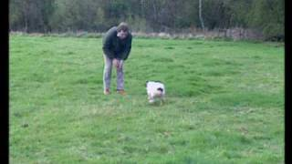 Sporting Scene - Basic Spaniel Training For The Gun .