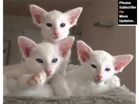 Balinese - Cat Pictures