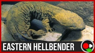 North America's MASSIVE 2' Salamander - the Hellbender
