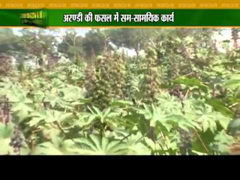 Learn about plantation of castor oil seeds