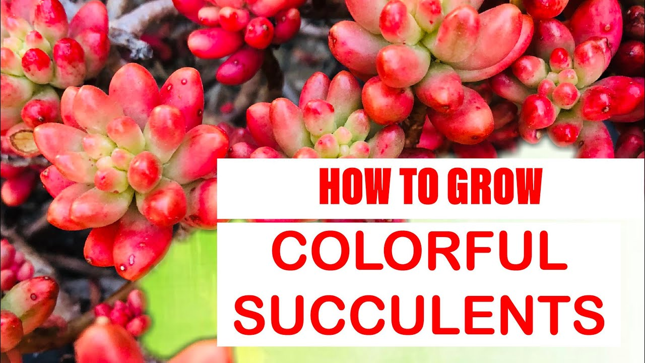 How To Grow Colorful Succulents How To Stress Your Succulents Youtube
