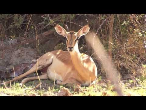 Mombo Impala Birth