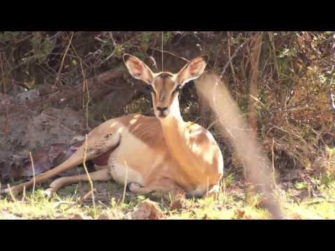 Mombo Impala Birth