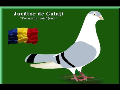 Галацкие голуби /Jucatori de Galati / Galatz Roller ( by ALINA BARBOIANU )