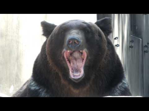 Yawn.Hokkaido Brown Bear.エゾヒグマのあくび。