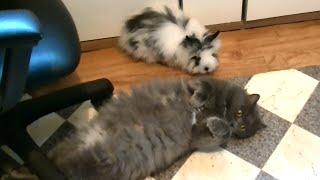 Декоративный кролик Юстас и кошка Сильва на прогулке по кухне.