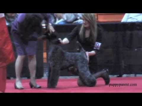Kerry Blue Terrier Purina National 2012