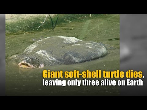 Giant soft-shell turtle dies, leaving only three alive on Earth