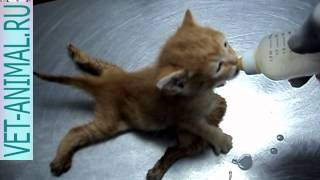 Шестиногий котенок кушает из соски молоко
