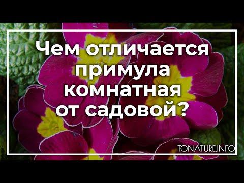 Чем отличается примула комнатная от садовой? | toNature.Info